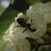 abeille sur teck d'arabie
