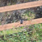 Araignée Nephila