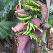 Fleurs et fruits du Bananier D Helsens