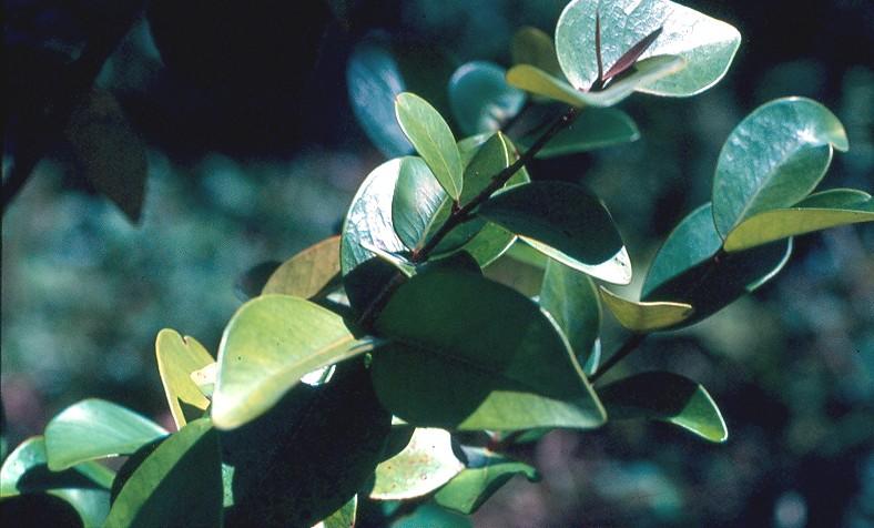 bois de nêfles feuilles