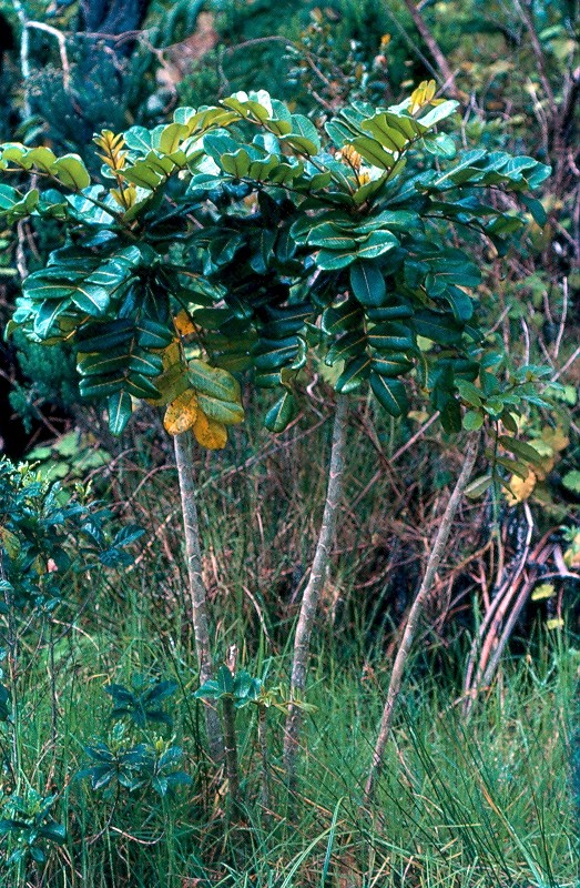 bois de papaye