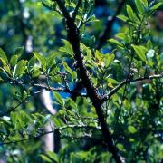 bois de prune