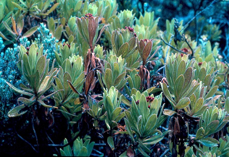 bois de tabac anchusifolia