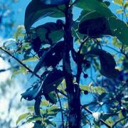 bois de tambour feuilles