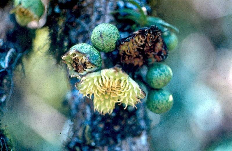 bois de tambour fruits
