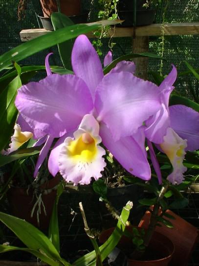 Catléyas violet D Helsens