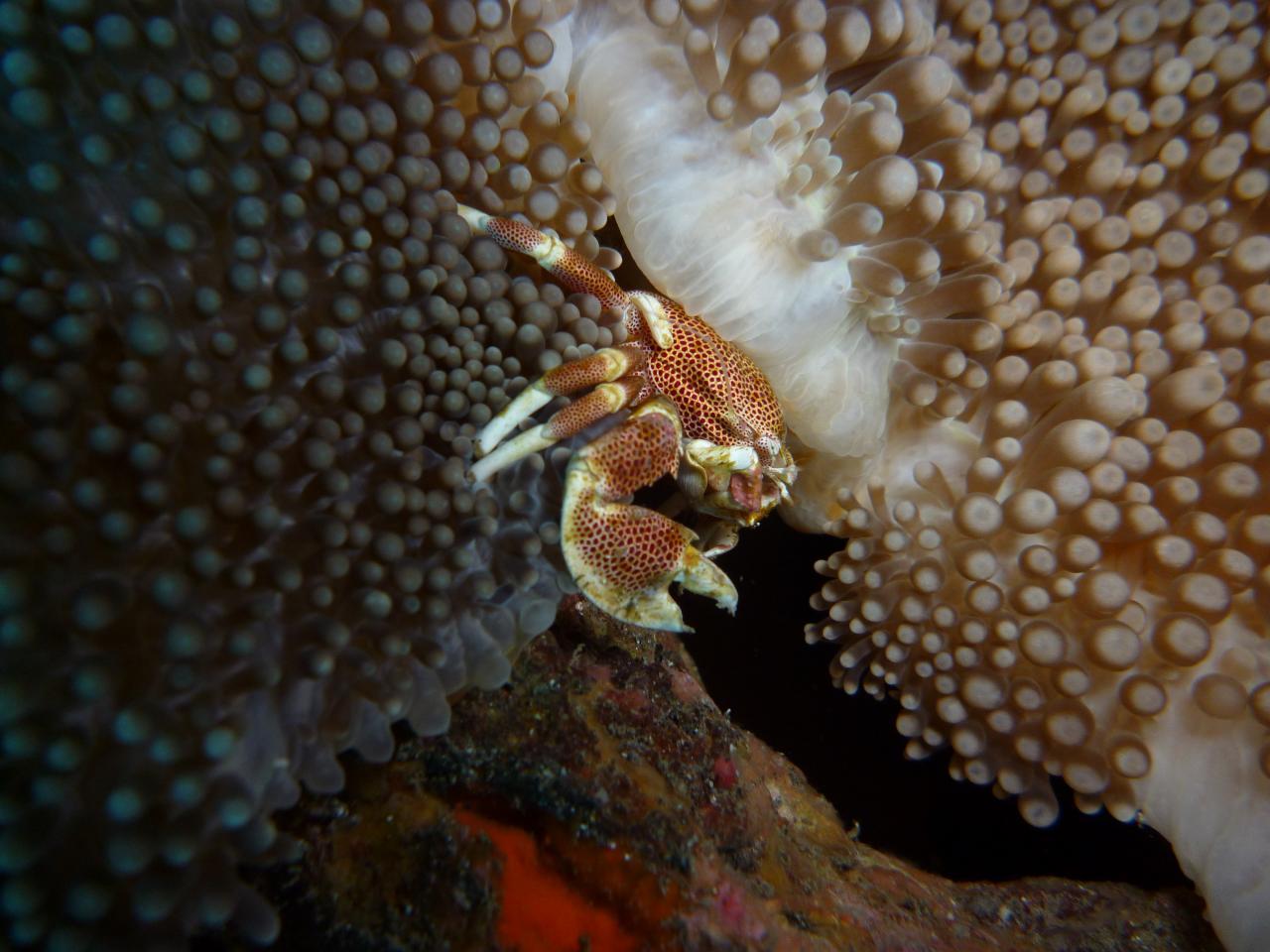 Crabe D Helsens