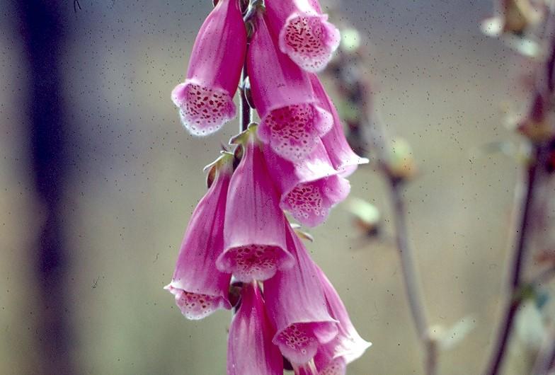 digitale fleurs
