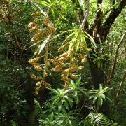 Fruits du bois de Chandelle en sous-bois à St Philippe.