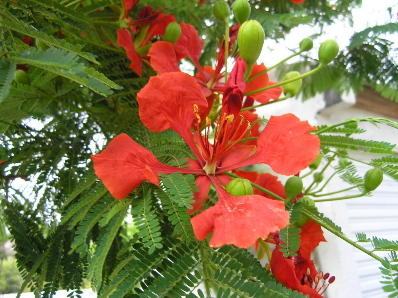 flamboyant fleur loin