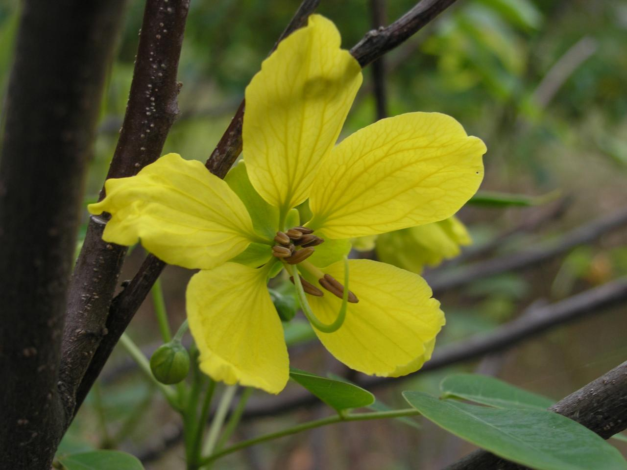 fleur de senne