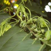 Fleurs d'Ylang-ylang D Helsens