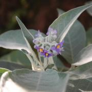 Fleurs de bringellier marron D Helsens