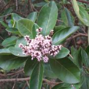 Fleurs du bois maigre