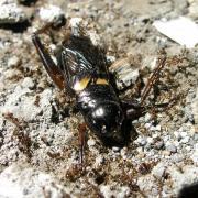grillon attaqué par des fourmis