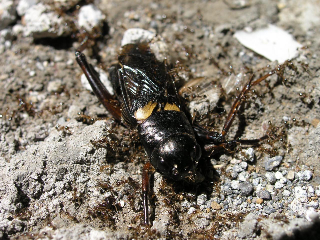 grillon mangé par des fourmis