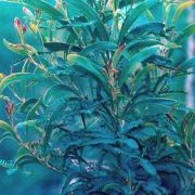 jeune plant de tamarin