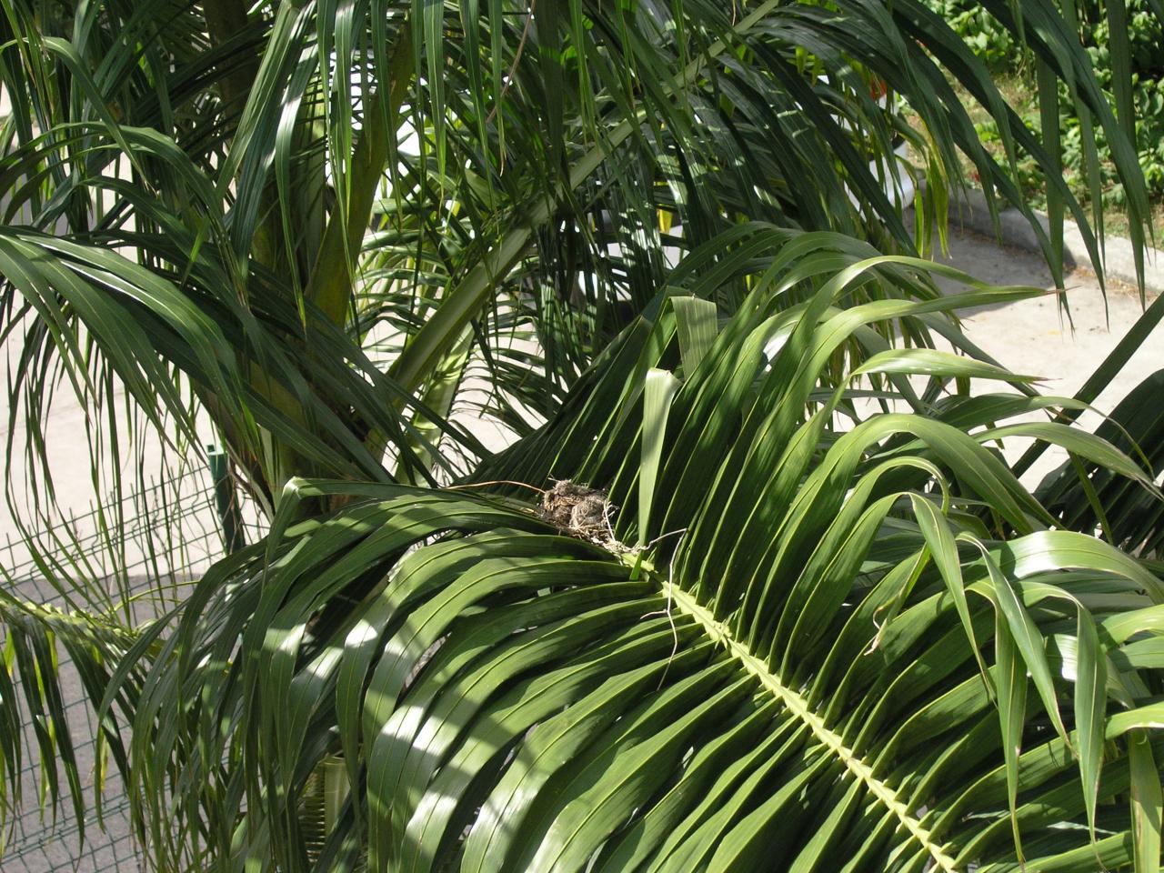 jeunes géopélies au nid
