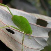 larve de sauterelle de profil