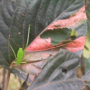 larve de sauterelle et ses méfaits