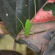 larve de sauterelle sur feuille de foulard