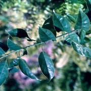 liane café feuilles