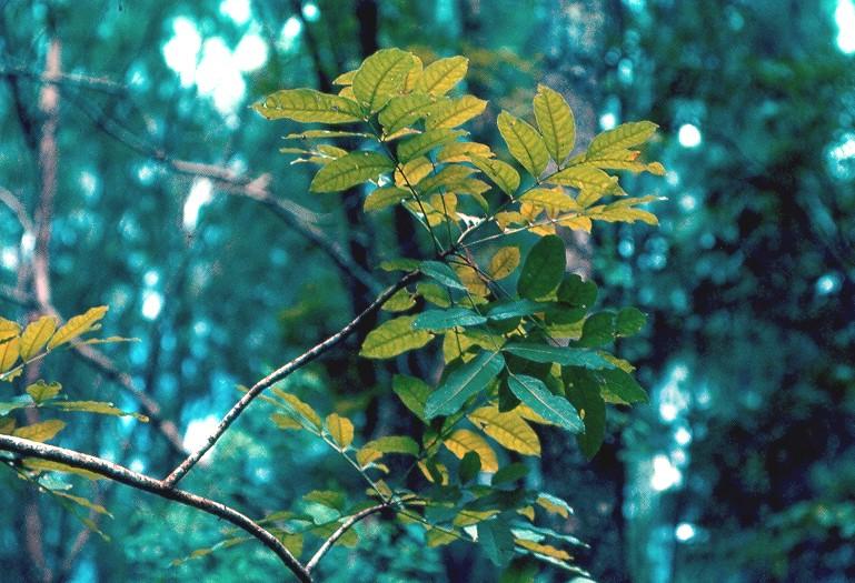 mahotgany feuilles