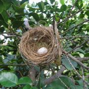 nid  de moineau