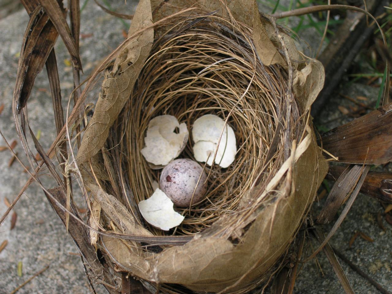 nid sur palmiste poison
