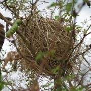 nid d'oiseau dans tamarin