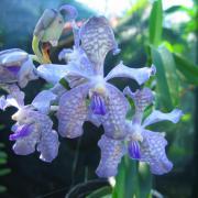Orchidées 2 D Helsens