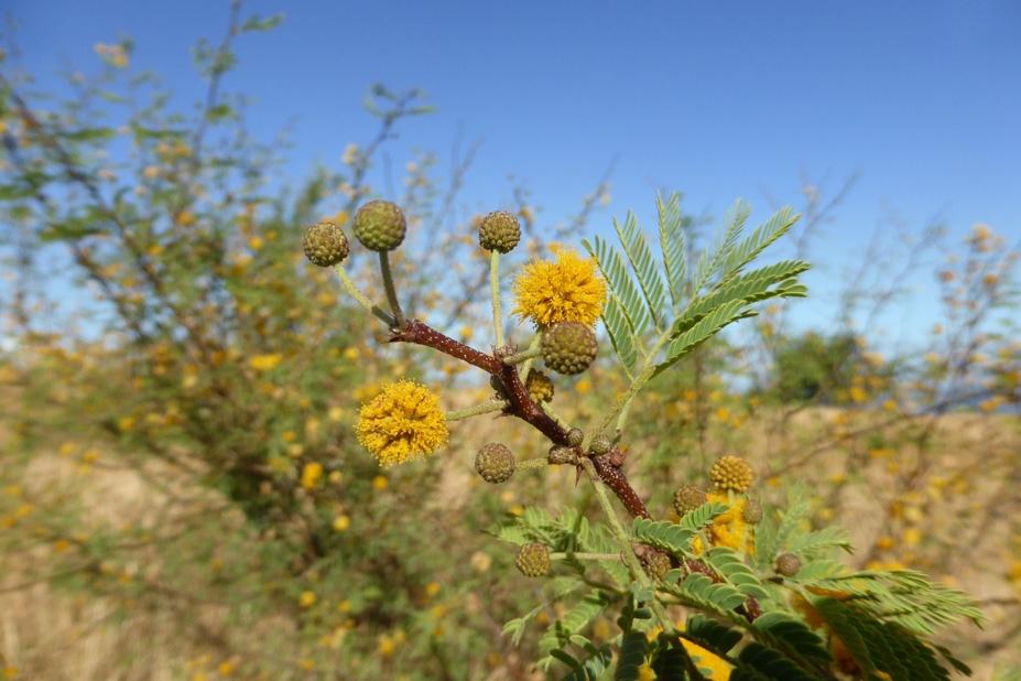 Fleurs de Cassi,savane du cap la Houssaye, photo Luc Souvet.