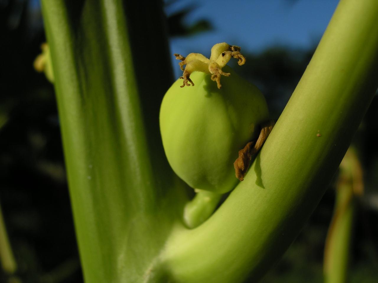 papayer fruit2