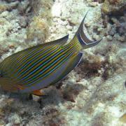 poisson-chirurgien acanthurus lineatus