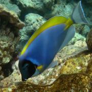 poisson-chirurgien bleu