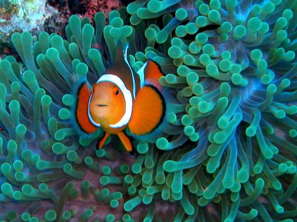 poisson clown amphiprion ocellaris