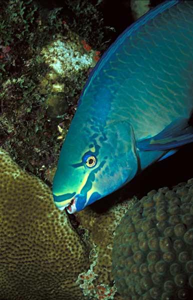poisson perroquet scarus vetula