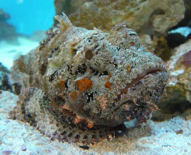 poisson pierre synanceia verrucosa