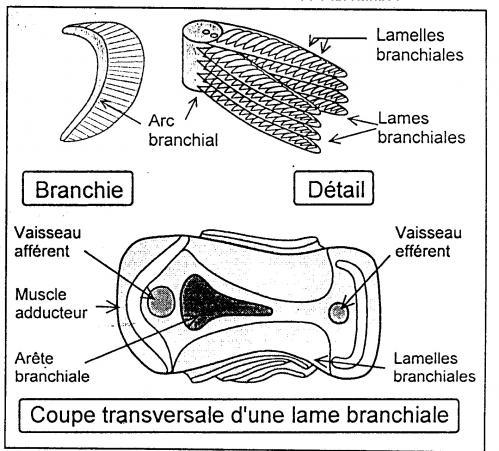 Branchies 1