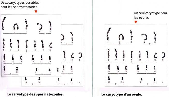 Caryotypes