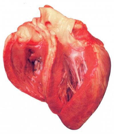 Coeur d agneau ventricules ouverts