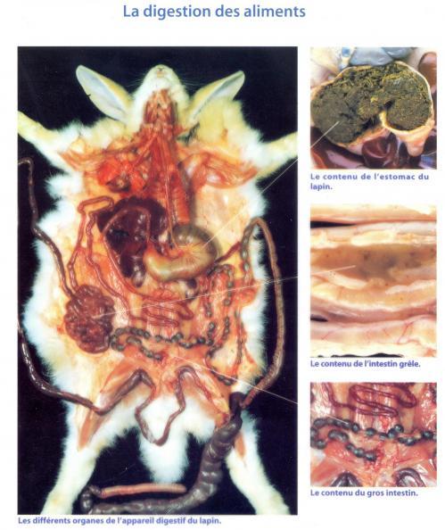 Le contenu de l estomac et des intestins