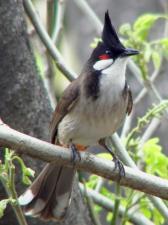 Pycnonotus jocosus 1