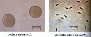 Spermatozo