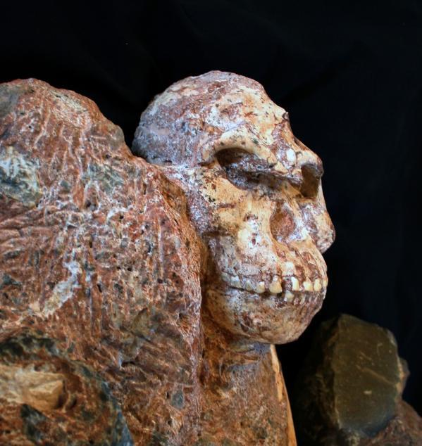 Visage de stw 573 australopithecus ronald clarke 968x1024